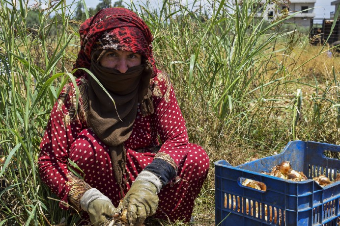 A woman in red squatting and harvesting onions