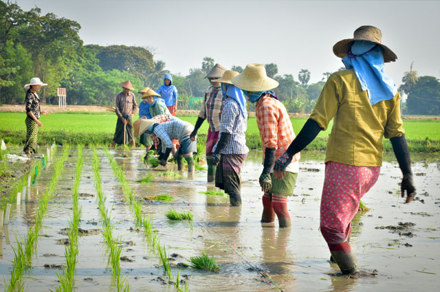 Workers in a green rice field harvesting rice