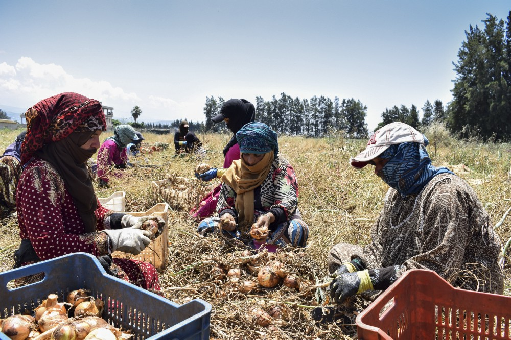 workers in a field harvesting a crop